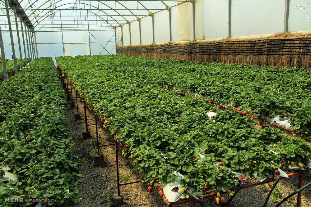 بزرگترین گلخانه کشور در خراسان شمالی اجرایی می شود
