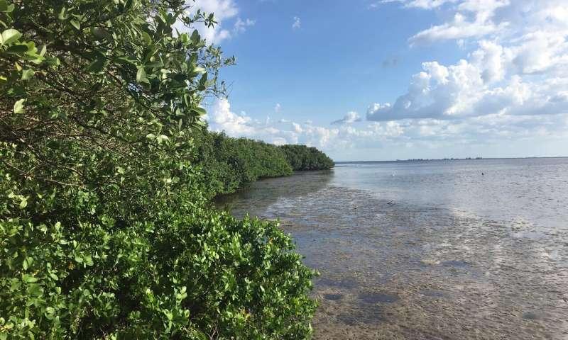به خطر افتادن جان درختان مانگرو با افزایش سطح آب دریا ها