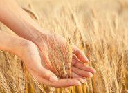 کاهش مصرف آب با تولید گندم مقاوم به خشکی
