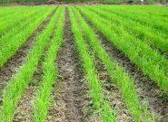 کاهش مصرف آب با خشکه کاری برنج