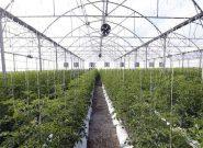 کاهش مصرف آب و رونق صادرات با کشت گلخانه ای